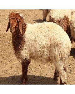 Naemi Sheep